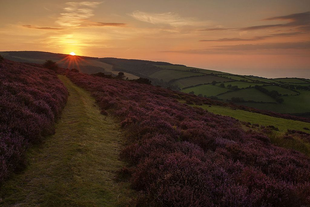 Heather - Exmoor, Somerset, England