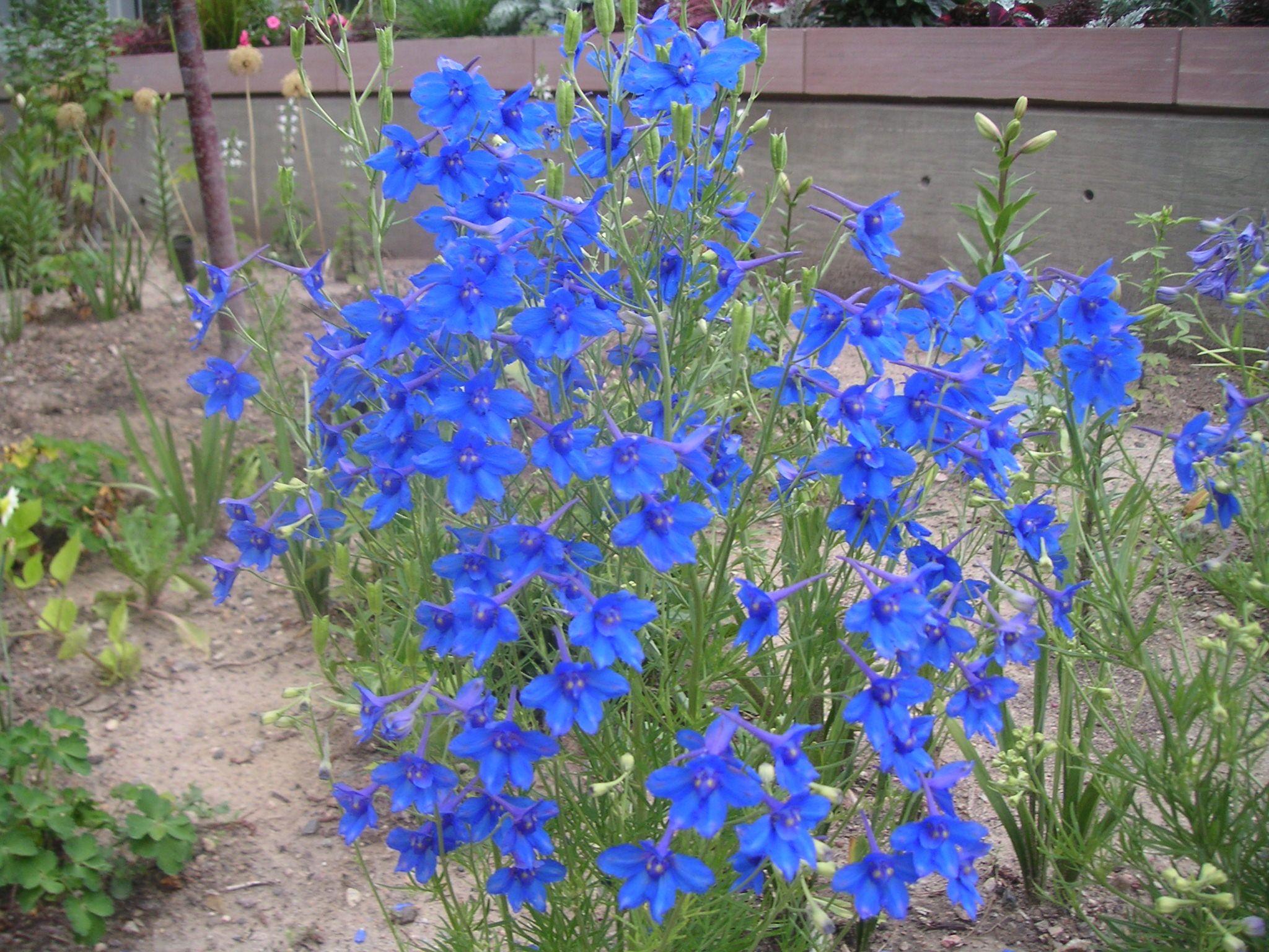 "Delphinium blue butterfly - 12-18"", full sun to light ..."