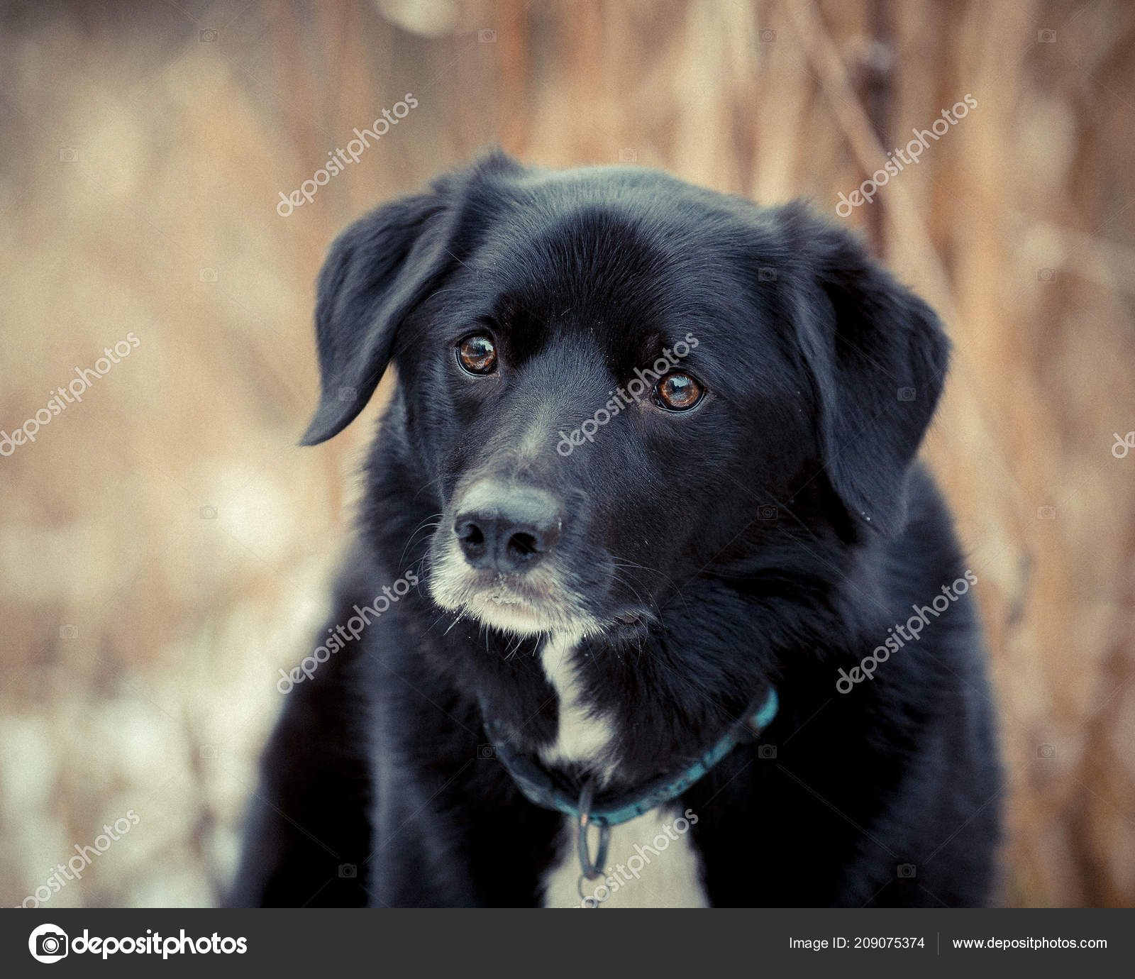 63 Flat Coated Retriever Border Collie Mix For Sale In 2020