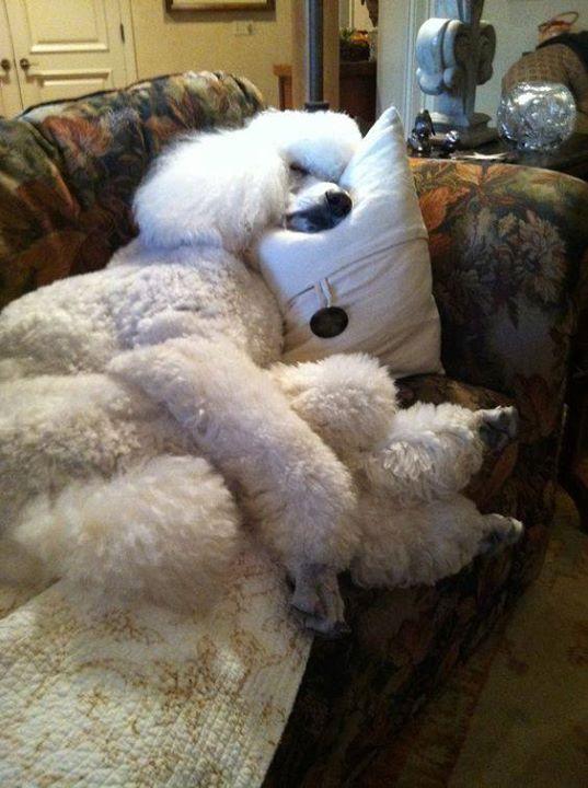 Resultado de imagen para poodle door sleeping