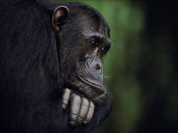 Gombe Chimpanzee, Tanzania  Photograph by Michael Nichols, National Geographic    A Gombe chimpanzee and alpha male named Frodo is captured close-up at Gombe Stream National Park, Tanzania.