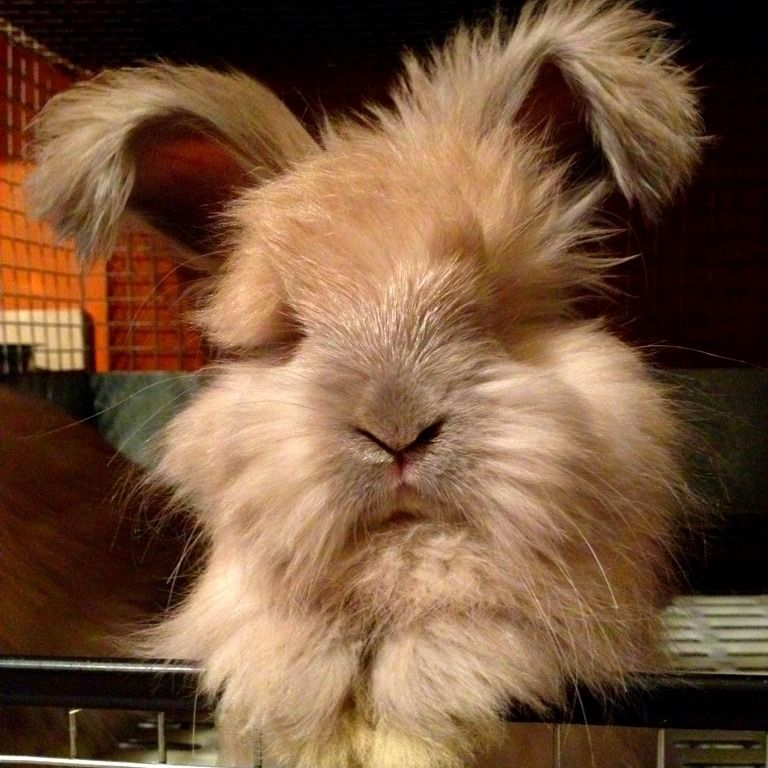 Meet Eva My 7 Week Old English Angora Baby R Rabbits Rabbit English Angora Angora Rabbit
