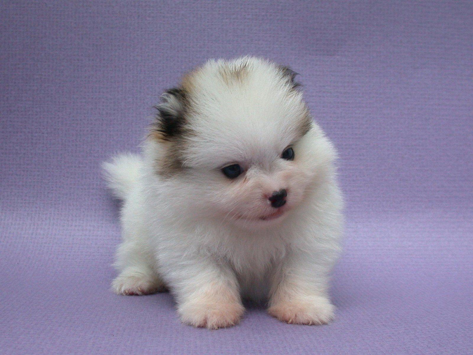 Pin by Pomeranian Cute on Pomeranian Cute Baby | Pinterest