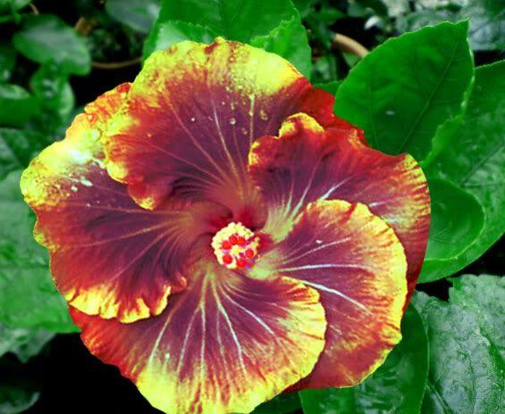 Rare Green Cv Hybrid Hibiscus Hibiscus Plant Hibiscus Hibiscus Flowers