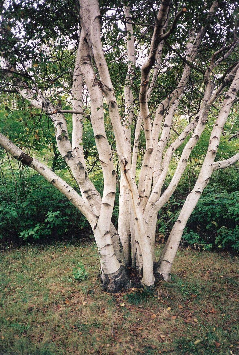 Multi Stemmed Birch Tree Garden Landscape Design Birch
