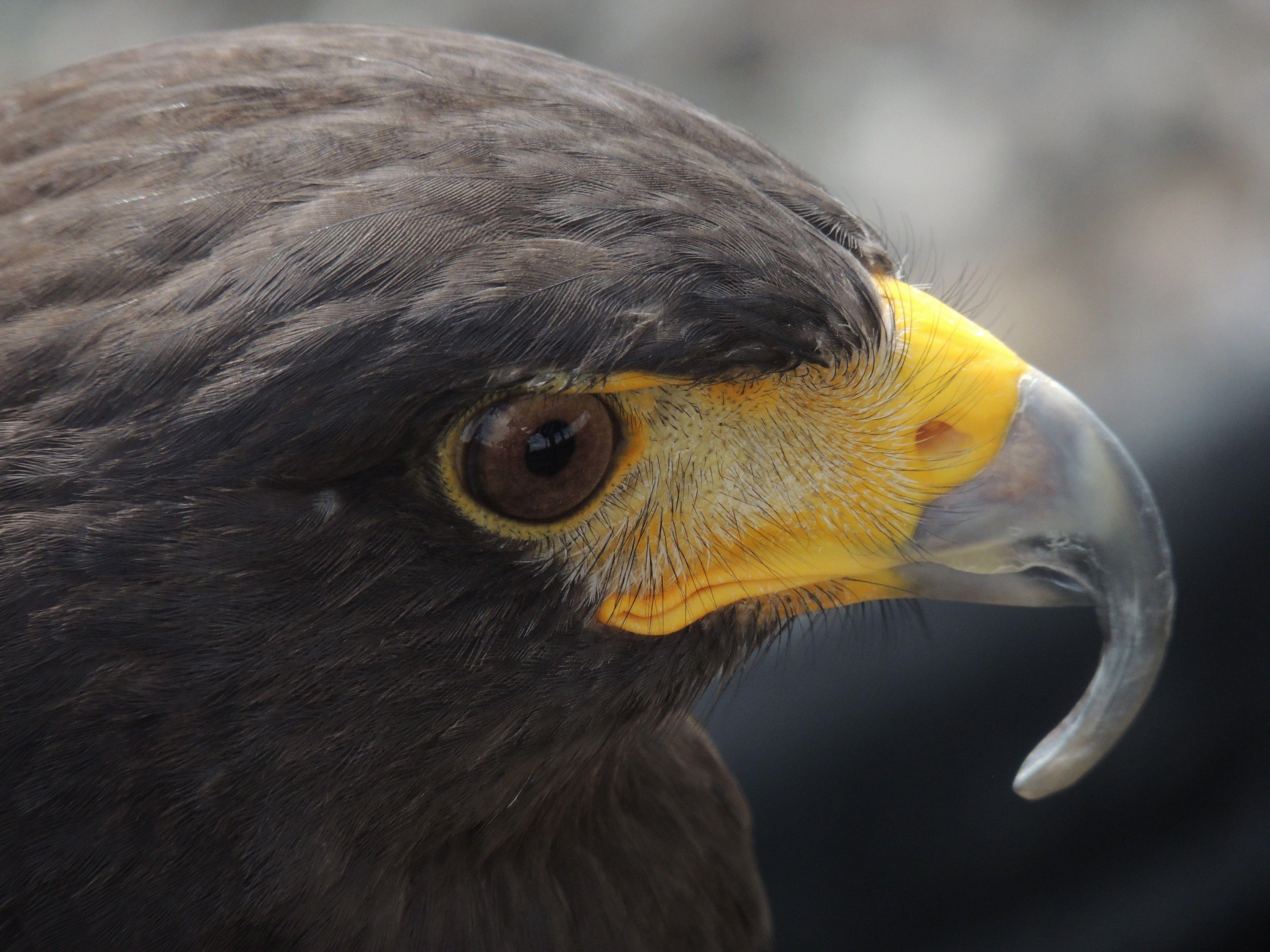 Bald eagle bird wallpaper iphone 7 download high resolutuion hd bald eagle bird wallpaper iphone 7 download high resolutuion voltagebd Image collections