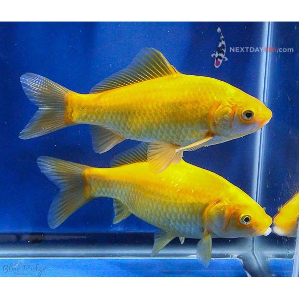 Goldfish pair of yellow commons goldfish for the pond for Goldfish pond
