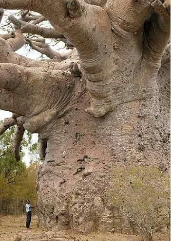 Baobab trees (tree of life) found in Africa, India and Australia can live for several thousand years. They have little wood fiber but can store large quantities of water (Generation Alpha)