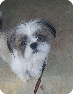 Springfield Va Shih Tzu Mix Meet Shaggy A Puppy For Adoption Puppies Pets Kitten Adoption