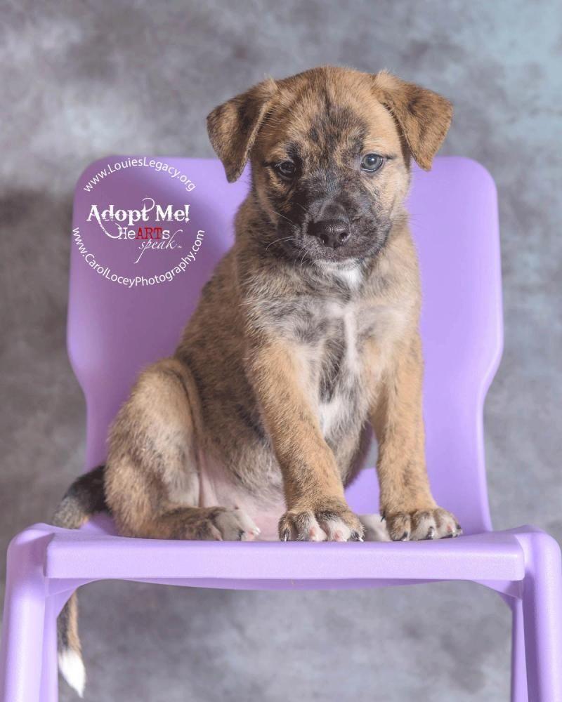 Adopt Sue on Petfinder German shepherd dogs, Dogs, Boxer