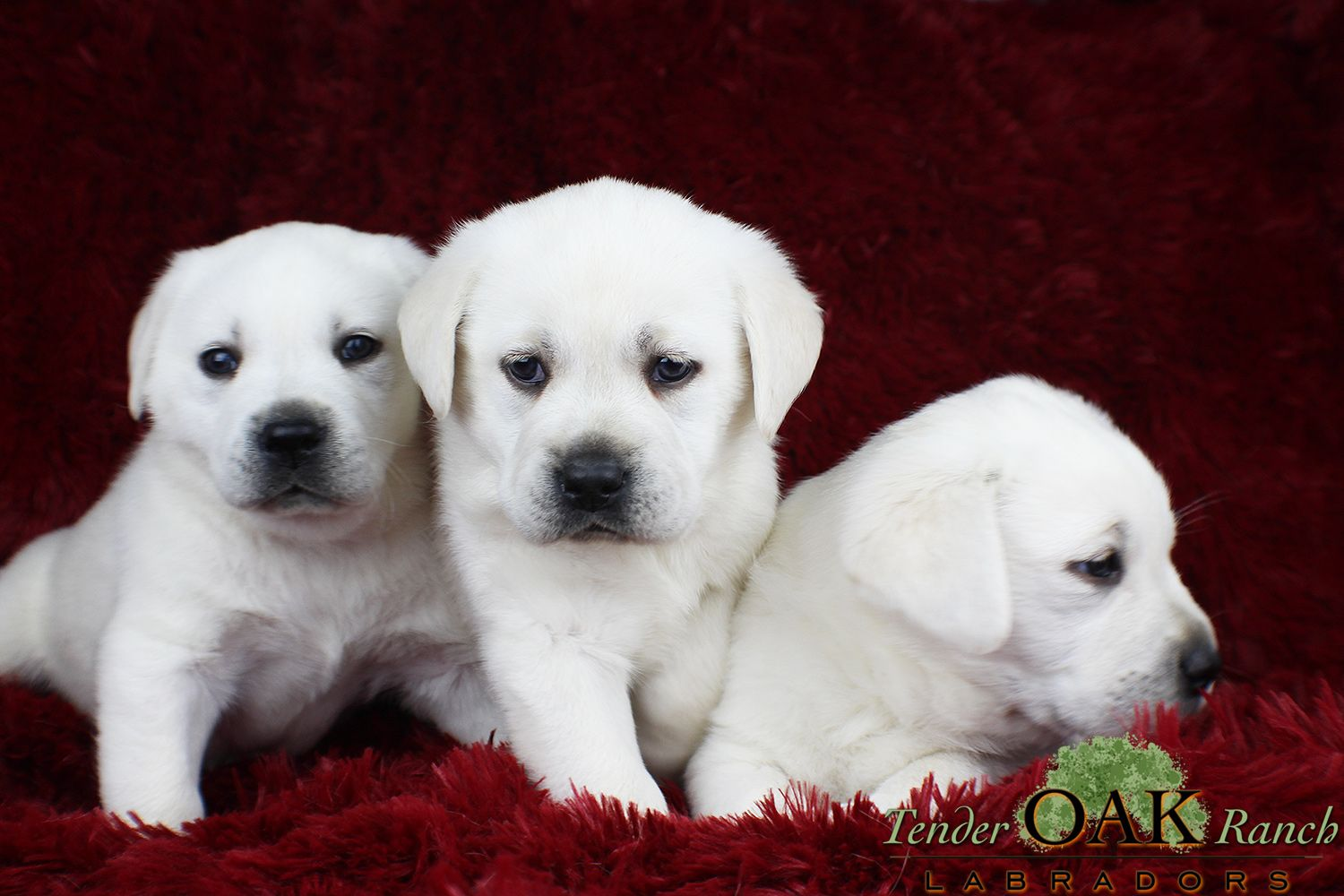 Little Labs Ready To Meet You Labrador Puppies For Sale Labrador Retriever Labrador Puppy