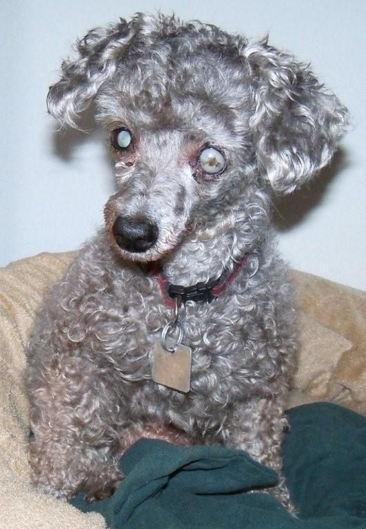 Adopt Bobbie Ready On Adoptable Blind Dogs Adoption Find