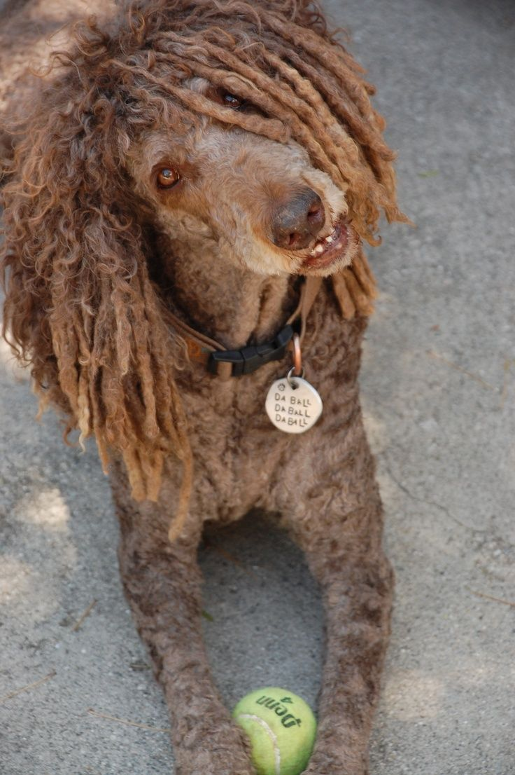 Standard poodle haircuts or of unless soft haircuts standard poodle - The Owners Of The Walking Miniature Poodle Sushi Were Beating The Pup So It Poodle Groomingpoodle Cutsstandard