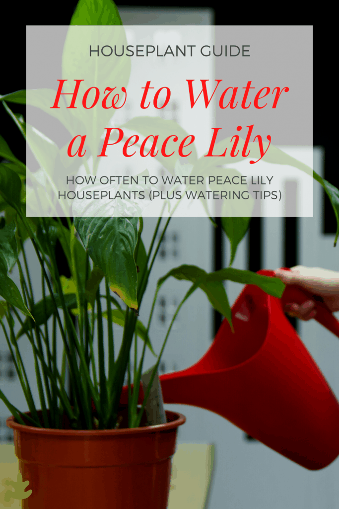 How Often To Water Peace Lily Plants Grown Indoors In 2020 Lily Plant Care Peace Lily Plant Care Lily Plants