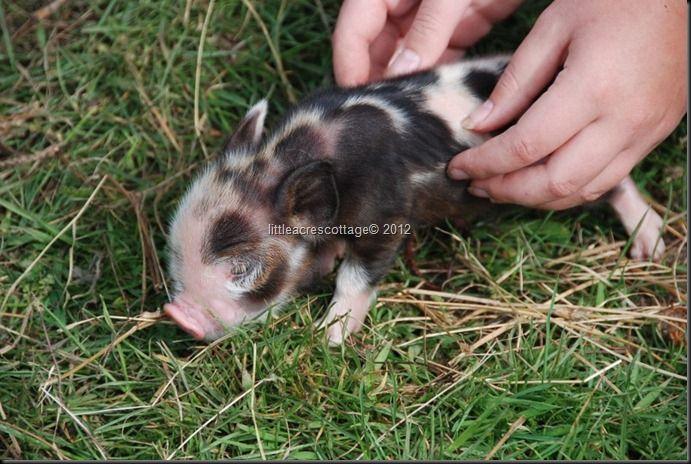 Baby Piggy....