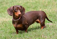 Color Chocolate Tan Dachshund Cute Dogs Cute Animals