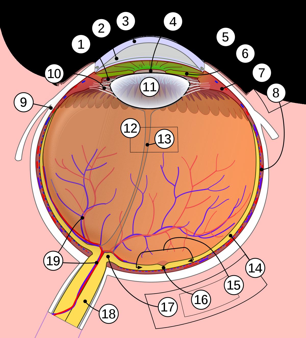 Fóvea - Wikipedia, la enciclopedia libre | Human eye ...