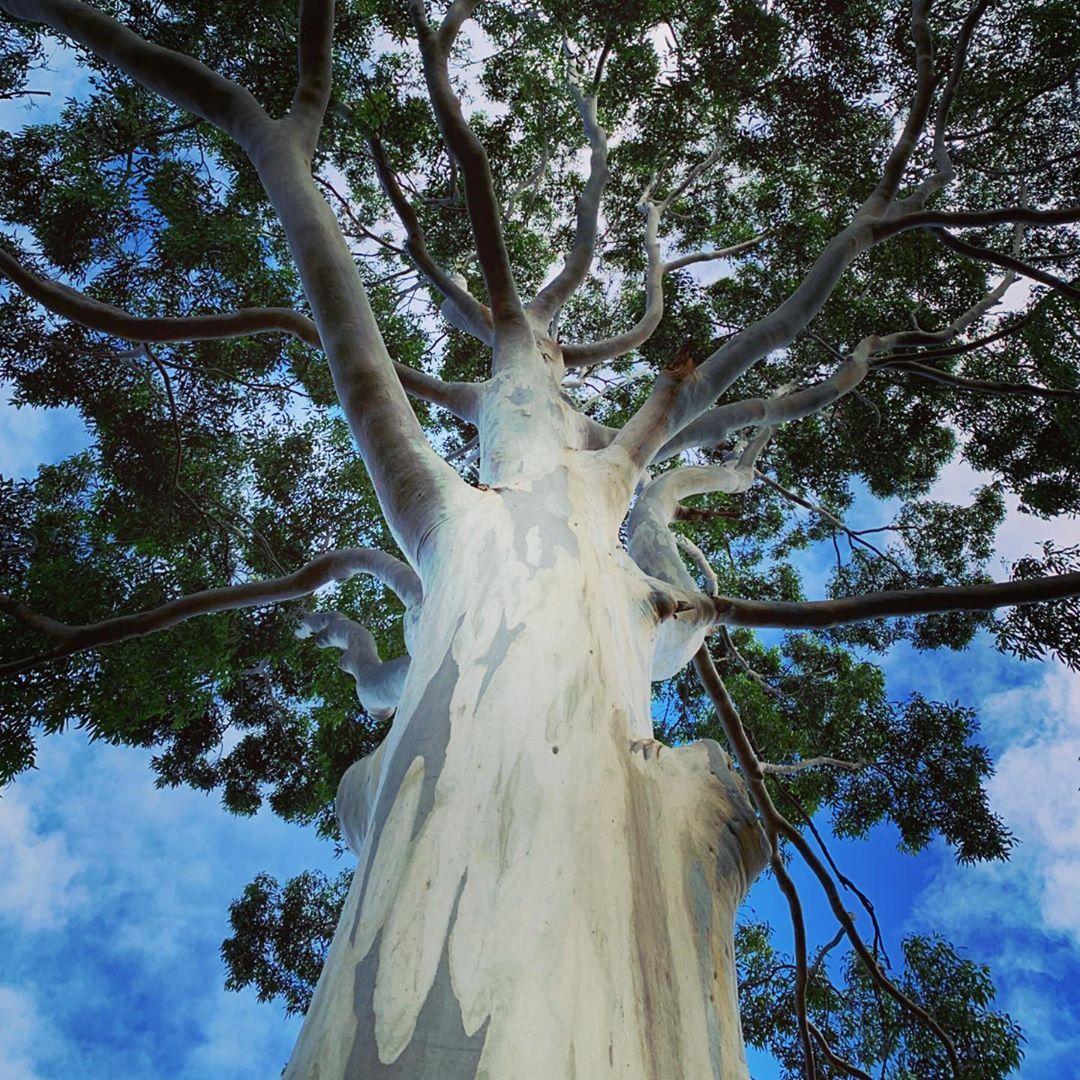 Trees Of Sydney On Instagram Eucalyptus Saligna Sydney Blue Gum Eucalyptussaligna Sydneybluegum Bluegum Eucalyptus E Instagram Myrtaceae Eucalyptus