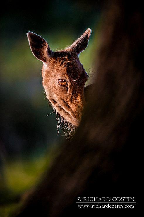 Shy Fallow Deer