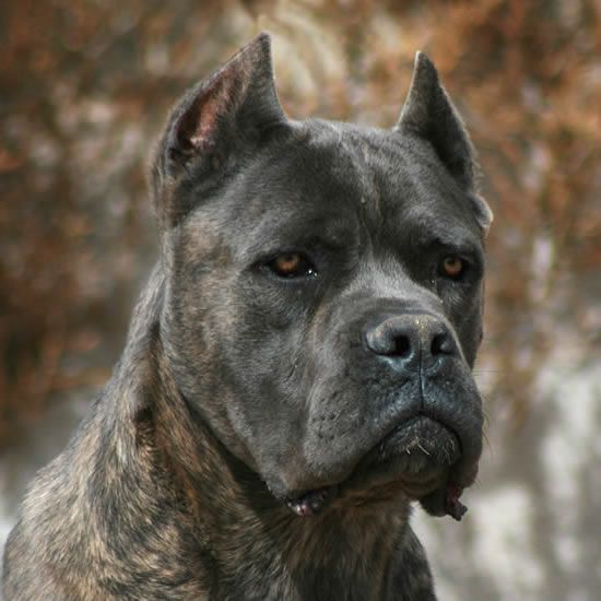 Prefer When Their Ears Are Not Cropped A Stunning Dog None The Less With Images Cane Corso Dog Cane Corso Corso Dog