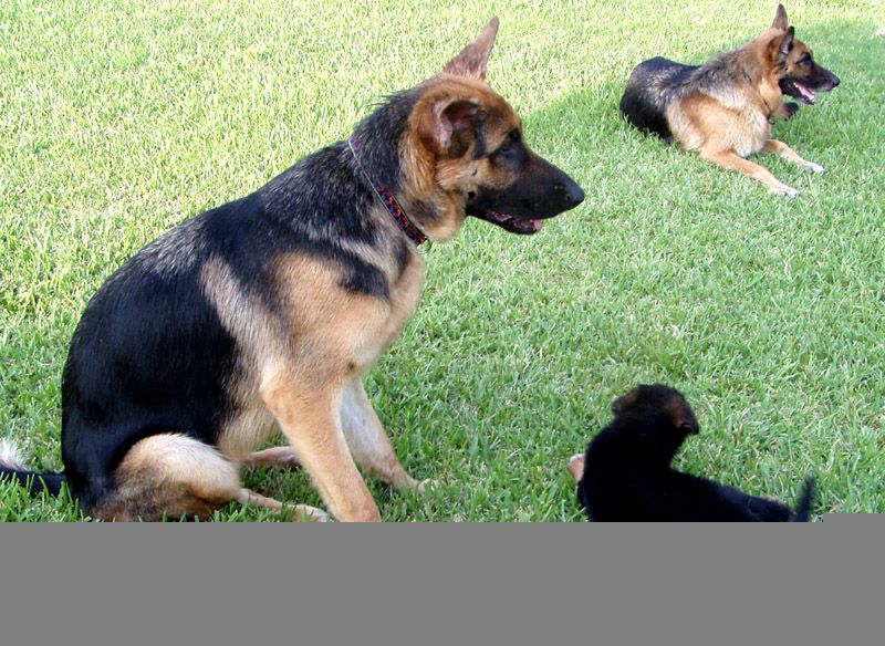 German Shepherds Bred Work For Search And Rescue Red Cross