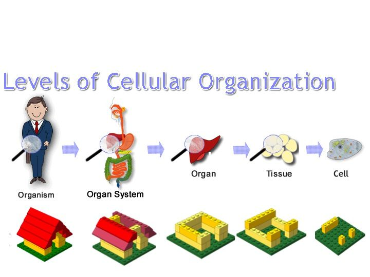 Levels Of Cellular Organization With Legos Biology Activity Science Activities Fun Science