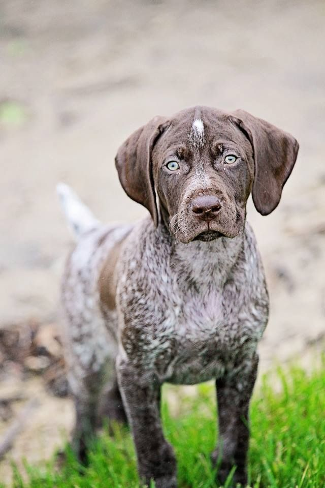 German Short Haired Pointer German Shorthaired Pointer Hunting Dogs Gsp Puppies