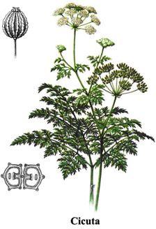 Conium maculatum L. - Cicuta