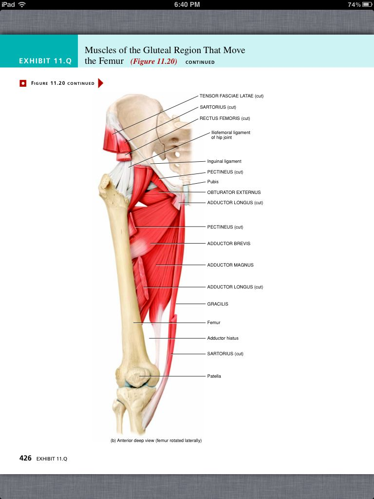 Principles of Anatomy and Physiology, Chapter 11, The Muscular ...