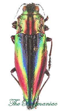 Buprestidae Cyphogastra Javanica 30mm Scarabee Insectes
