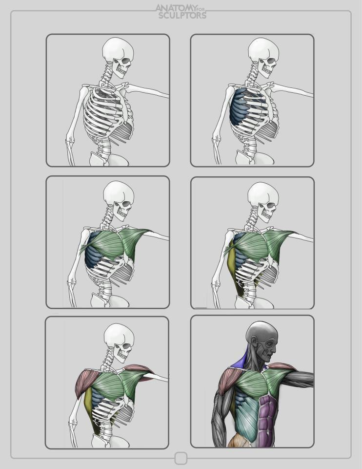 Pin von Julé Ann Gomez auf Estudios de Anatomía | Pinterest