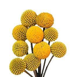 Craspedia Billy Balls 1 Strange Flowers Flower Names Wholesale Florist