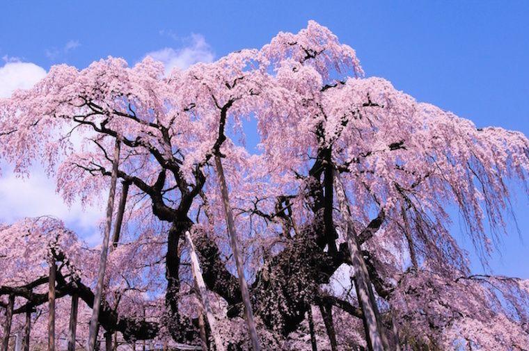 The Oldest Sakura Cherry Blossom Tree In Japan Cherry Blossom Tree Sakura Cherry Blossom Blossom Trees