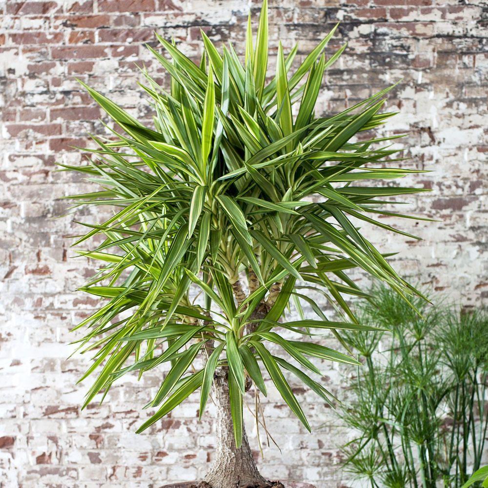 Die Yuccapalme Ist Eine Dekorative Und Anspruchslose Zimmerpflanze. Hier  Lesen Sie Alles über Die Palme