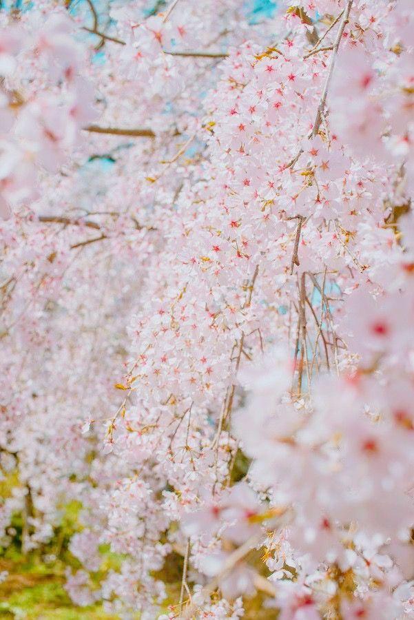 Pin By Alice Weltmer On Jardin Sakura Tree Flowering Cherry Tree Blooming Trees