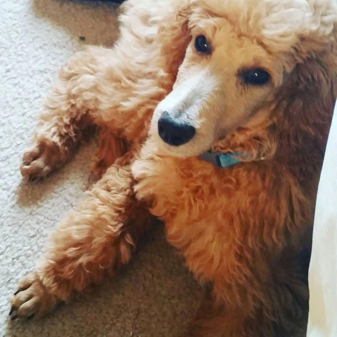Wyatt An Apricot Standard Poodle From Chicago Poodlepups