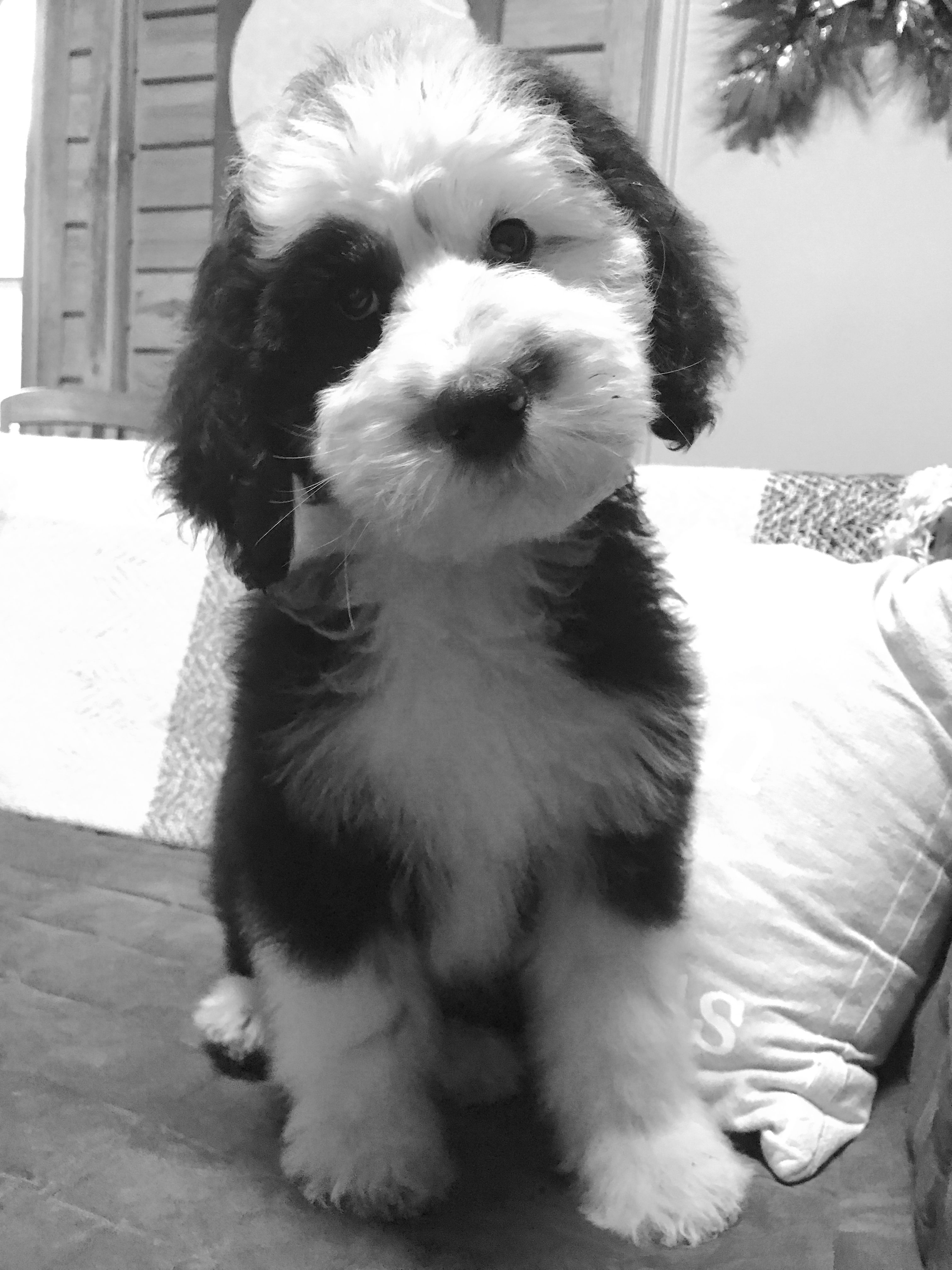 Lady + Gip Sheepadoodle puppies #gvd #gvdlove #goldenvalleydoodles