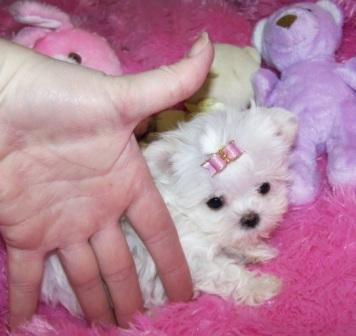 Free Ads Eu Dogs Puppies Classifieds Maltese Puppies Very Tiny