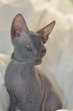 Donskoy Sphynx Kittens For Sale Hairless Cat Kittens Sphynx Cat