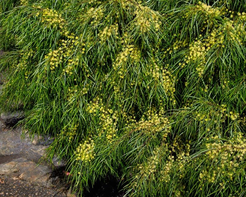Image Result For Acacia Cognata Tree Summer 2017 Acacia
