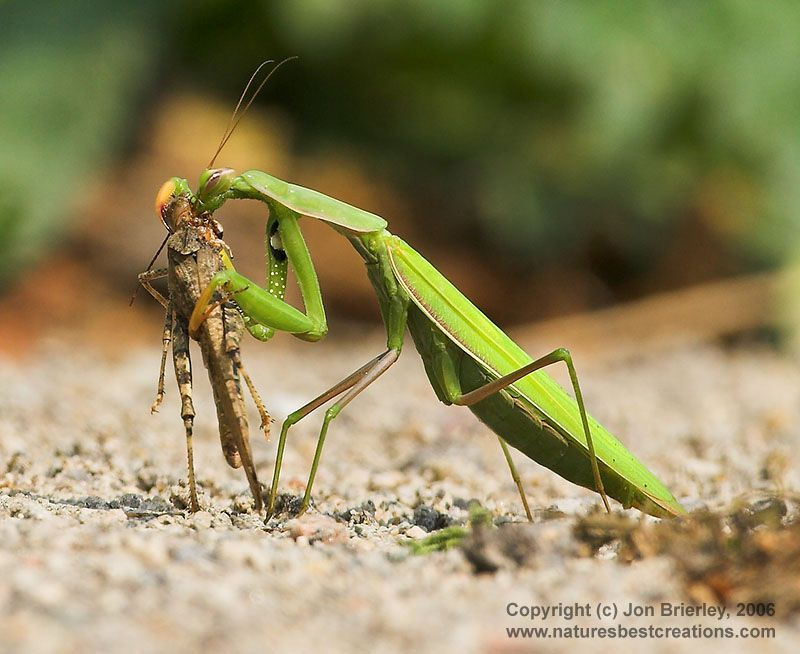 praying mantis Αναζήτηση Google