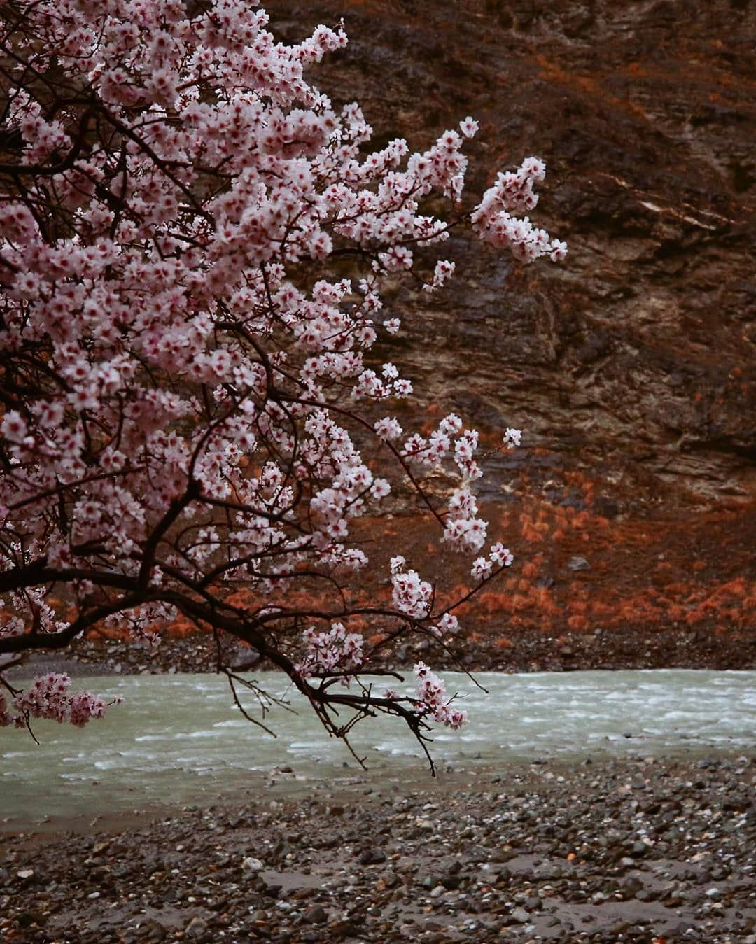 14 3k Likes 43 Comments Gobble Gobblegrams On Instagram Did You Know India Has It S Own Cherry Blossoms Too The Cherr Cherry Blossom Blossom Instagram