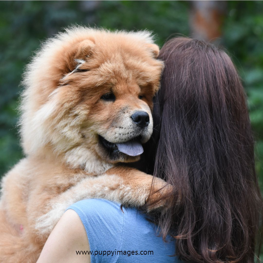 Chow Chow Hugging Chow Chow Puppy Puppy Dog Images Chinese Dog