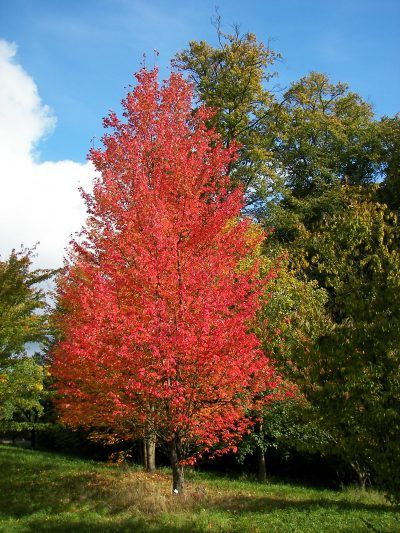 Arce Rojo Características Y Cuidados De Este Precioso árbol Caducifolio Arboles Plantas Arces Acerrubru Arce Rojo Arboles Para Jardin árboles De Sombra