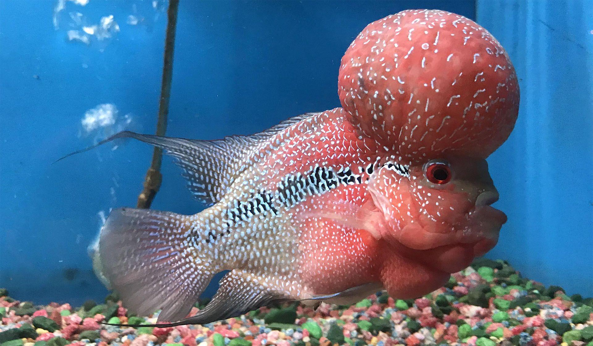 8 Tips to Grow Massive Flowerhorn Kok Growing, Fish