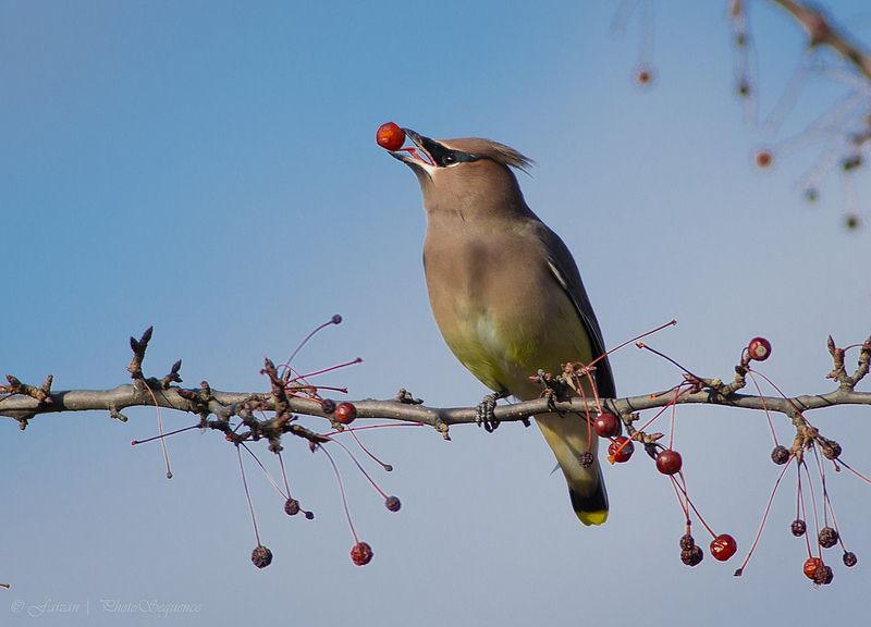 Like a Wolf... Waxwing