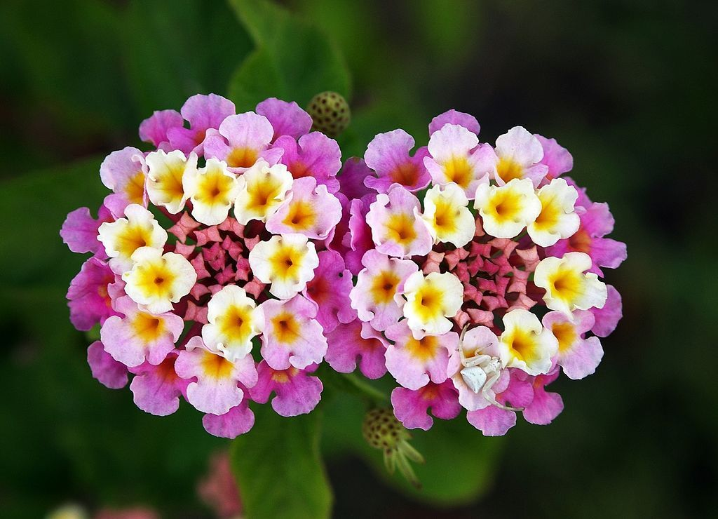 Lantana Is A Beautiful Easy To Grow Garden Plant In The Verbena Family It Has Colorful Flowers That Attract Butterflie Flower Essences Lantana Flower Lantana
