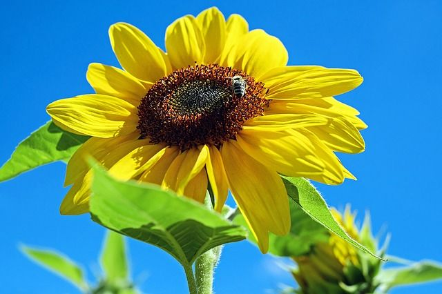 Free Image On Pixabay Sunflower Flower Bloom Yellow How To Preserve Leaves How To Preserve Flowers Flowers