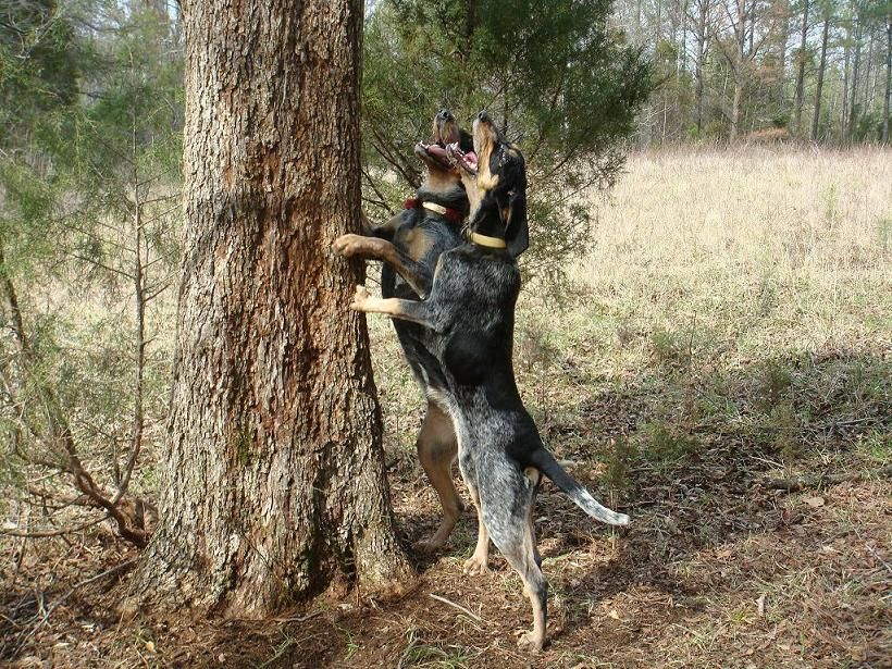 Coon Hunting Dogs For Sale In Texas
