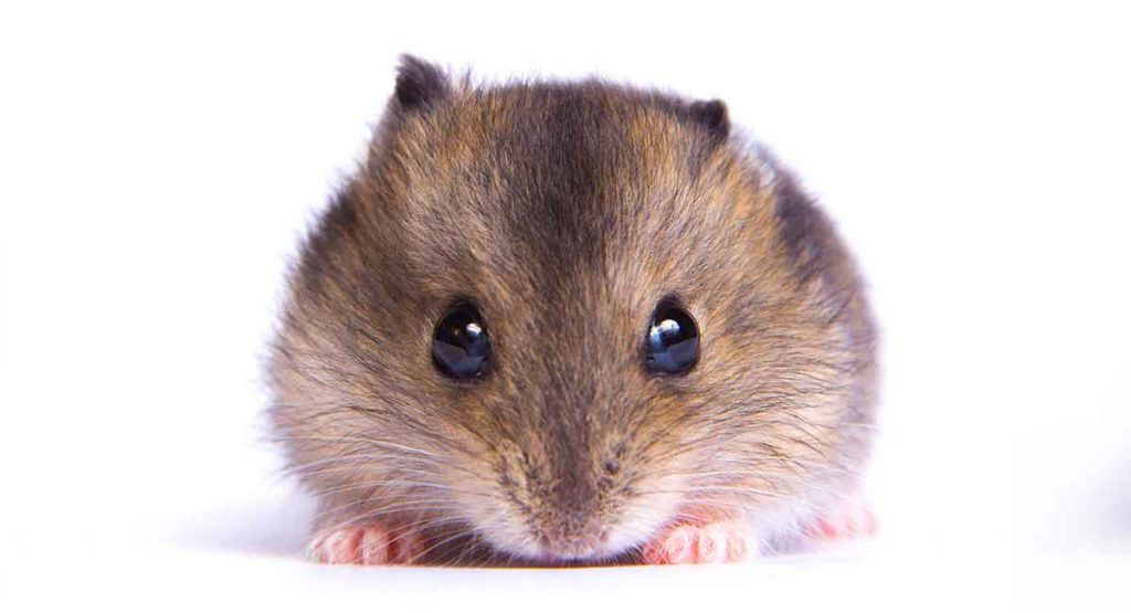 Dwarf Hamster Lifespan How Long Will Your Dwarf Hamster Live